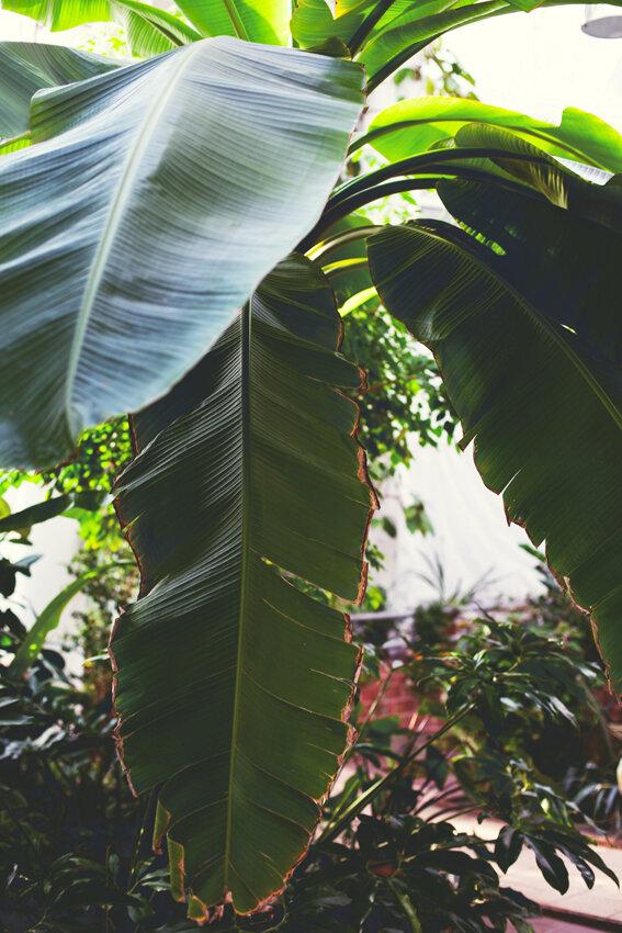ветки бананового дерева