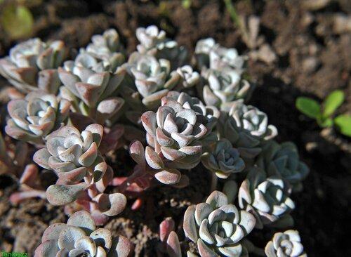 """Очиток (седум) лопатчатолистный, подвид мучнистый """"Cape Blanco"""" / Sedum spathulifolium """"Cape Blanco"""""""