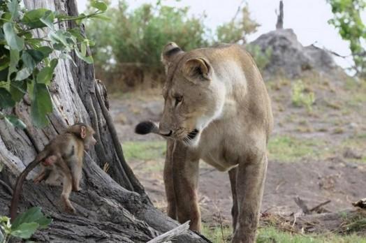 Львица оставила в живых детеныша бабуина 0 11e707 a36fd058 orig