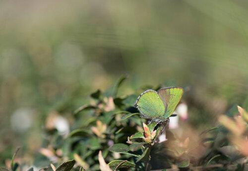 Малинница (Callophrys rubi) Автор: Владимир Брюхов