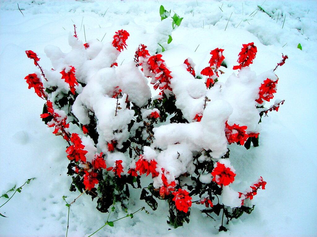картинки на весь экран цветы под снегом свойства противопоказания иван-чая