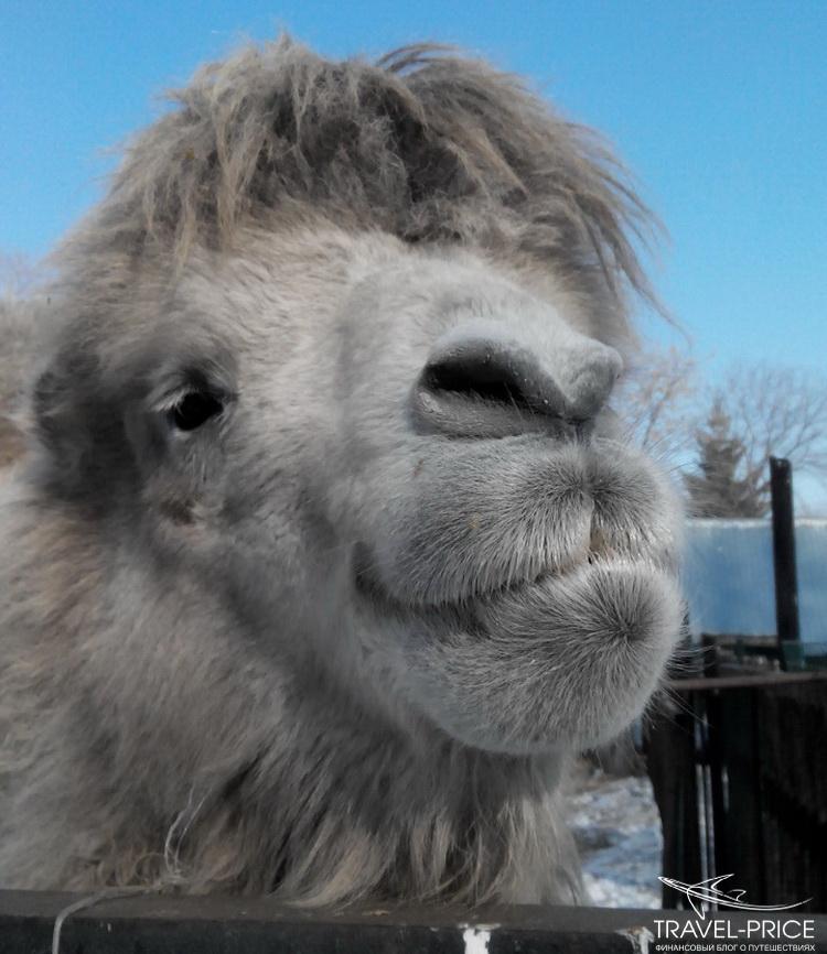 верблюд в Казани