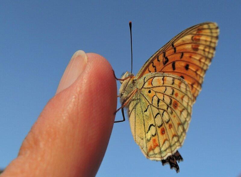 бабочка в Иране