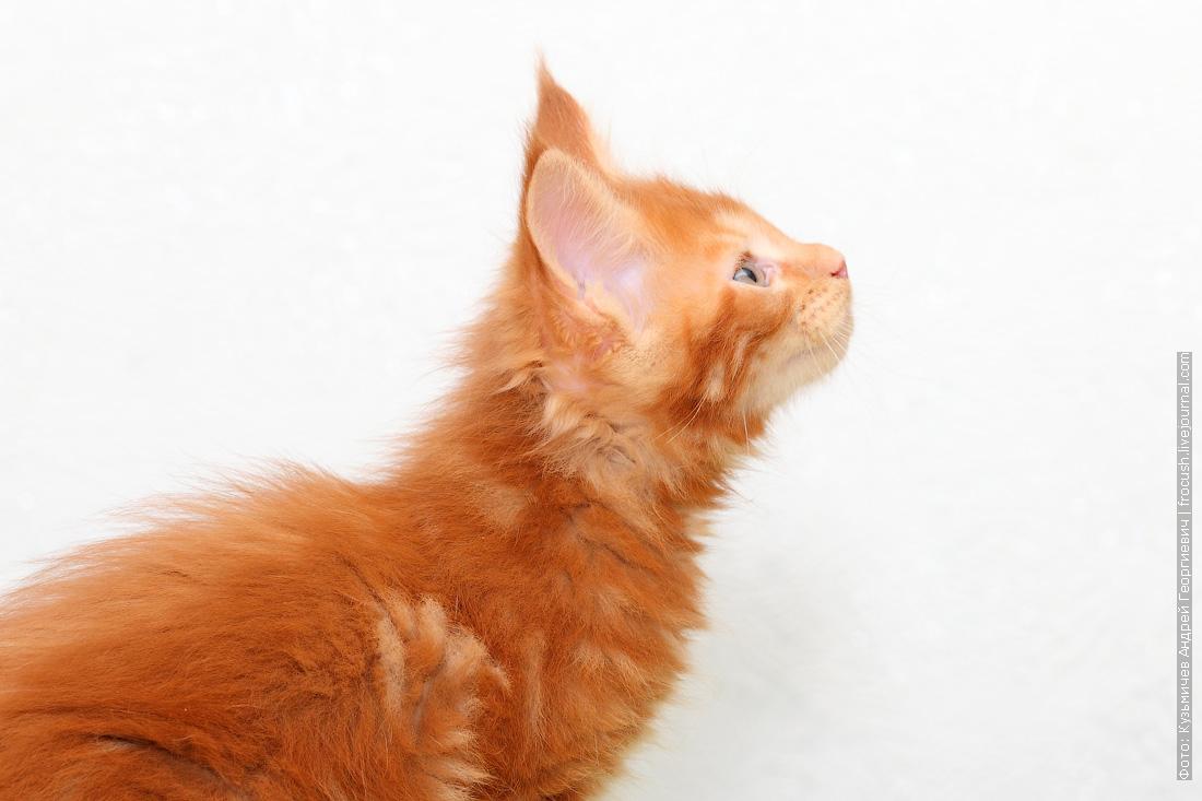 питомник красный котенок Мейн-кун