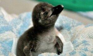 Ученым удалось вырастить пингвина из пробирки