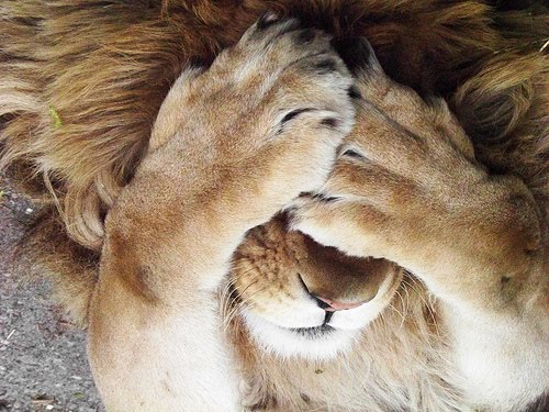 LION COVERING EYES