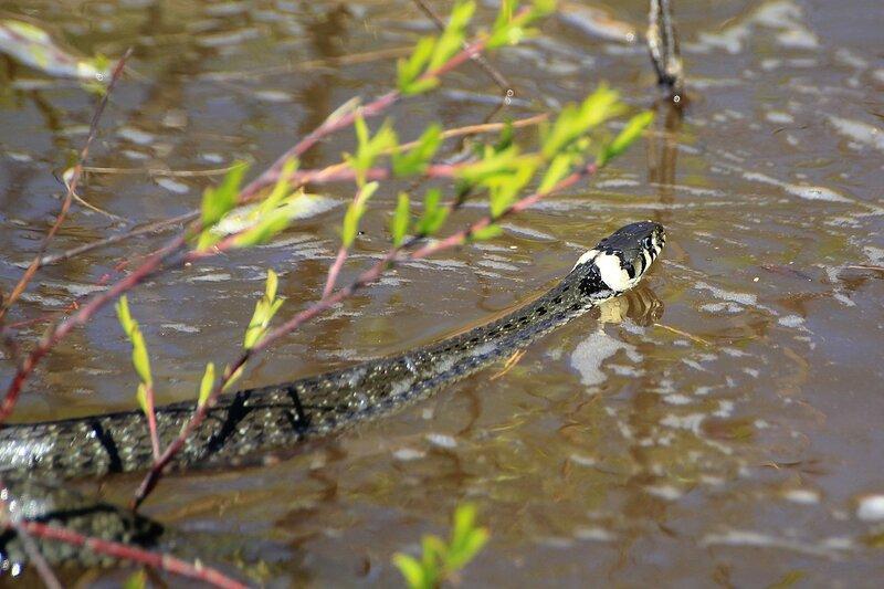 Чёрный ужик с жёлтыми «ушами» (уж обыкновенный, лат. Natrix natrix) переплывает реку Вятку во время половодья
