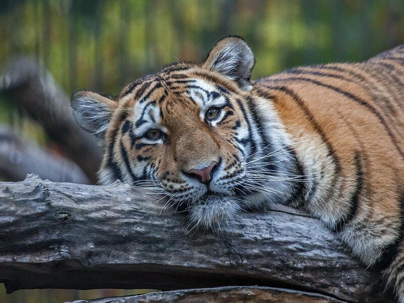 Амурский тигр - я 2.jpg