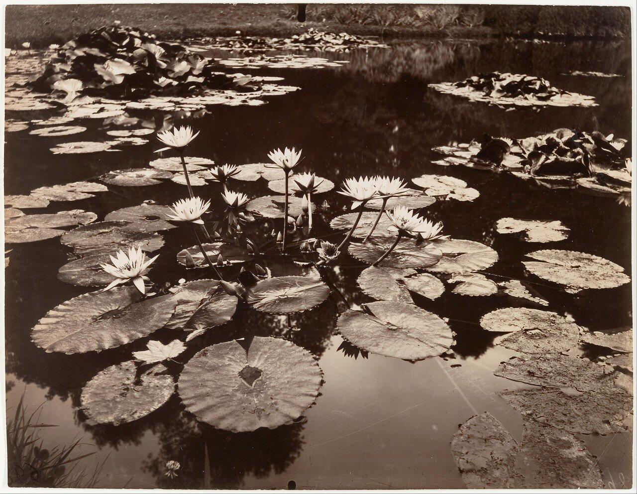 1910. Водные лилии