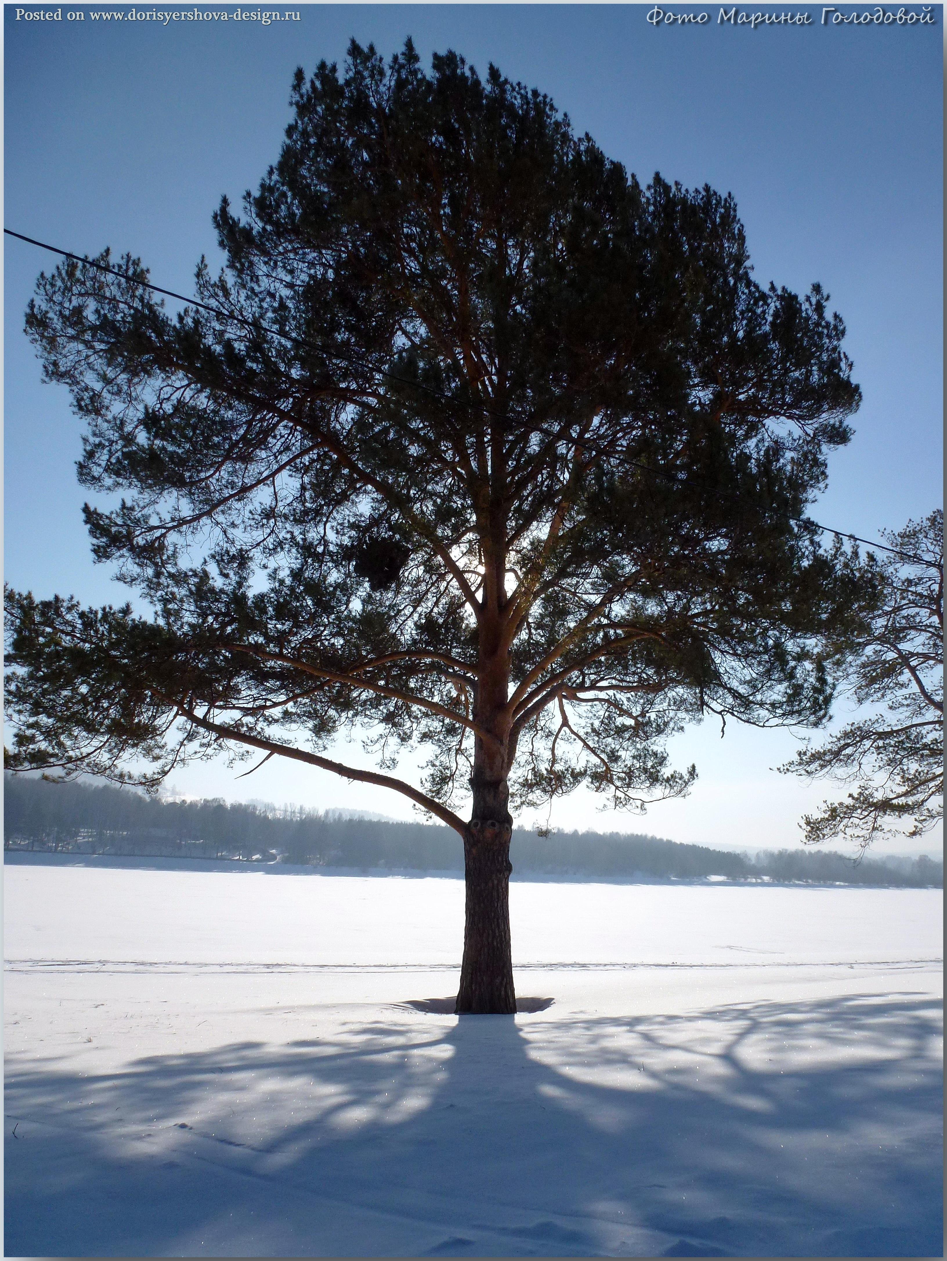 Сосны у пруда в Зеньковском парке. Фото - © Марина Голодова