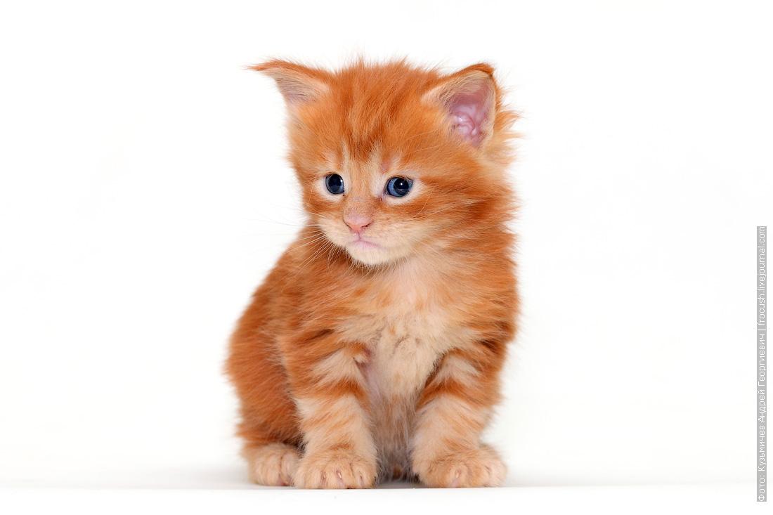 из московского питомника Мейн-кун котенок