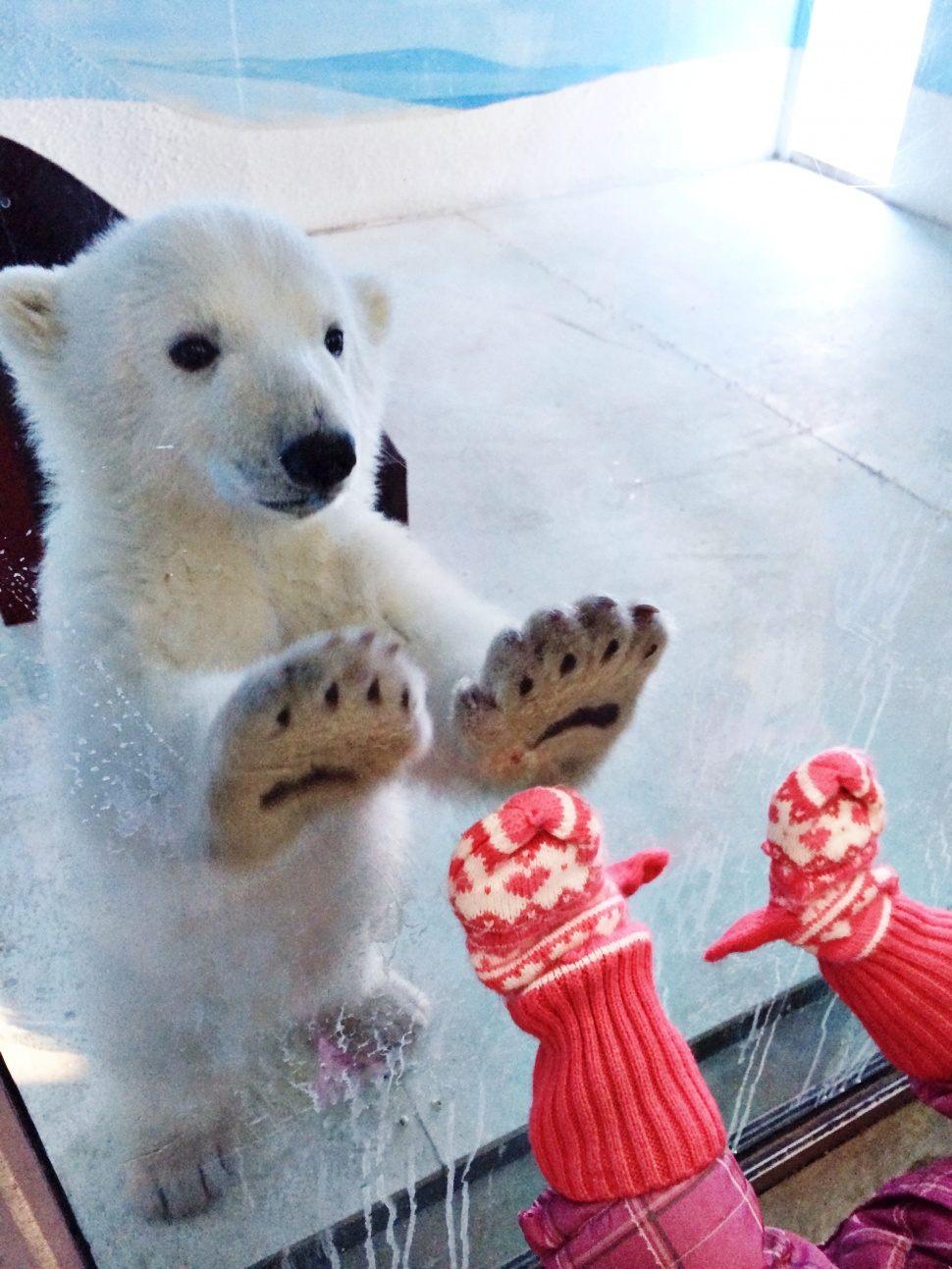 Белые медведи (50 фото)