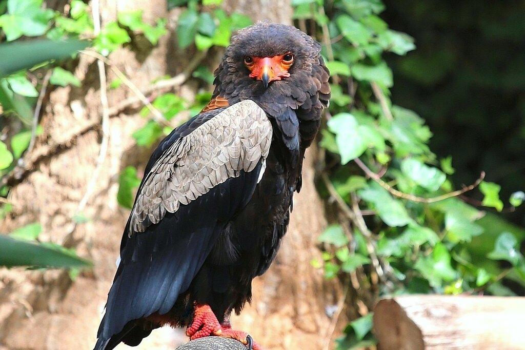 Орел скоморох (фигляр)