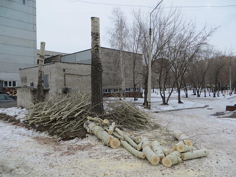 Варварская обрезка деревьев в Красноярске у Сибирского клинического центра ФМБА России. Фото: Александр Колотов
