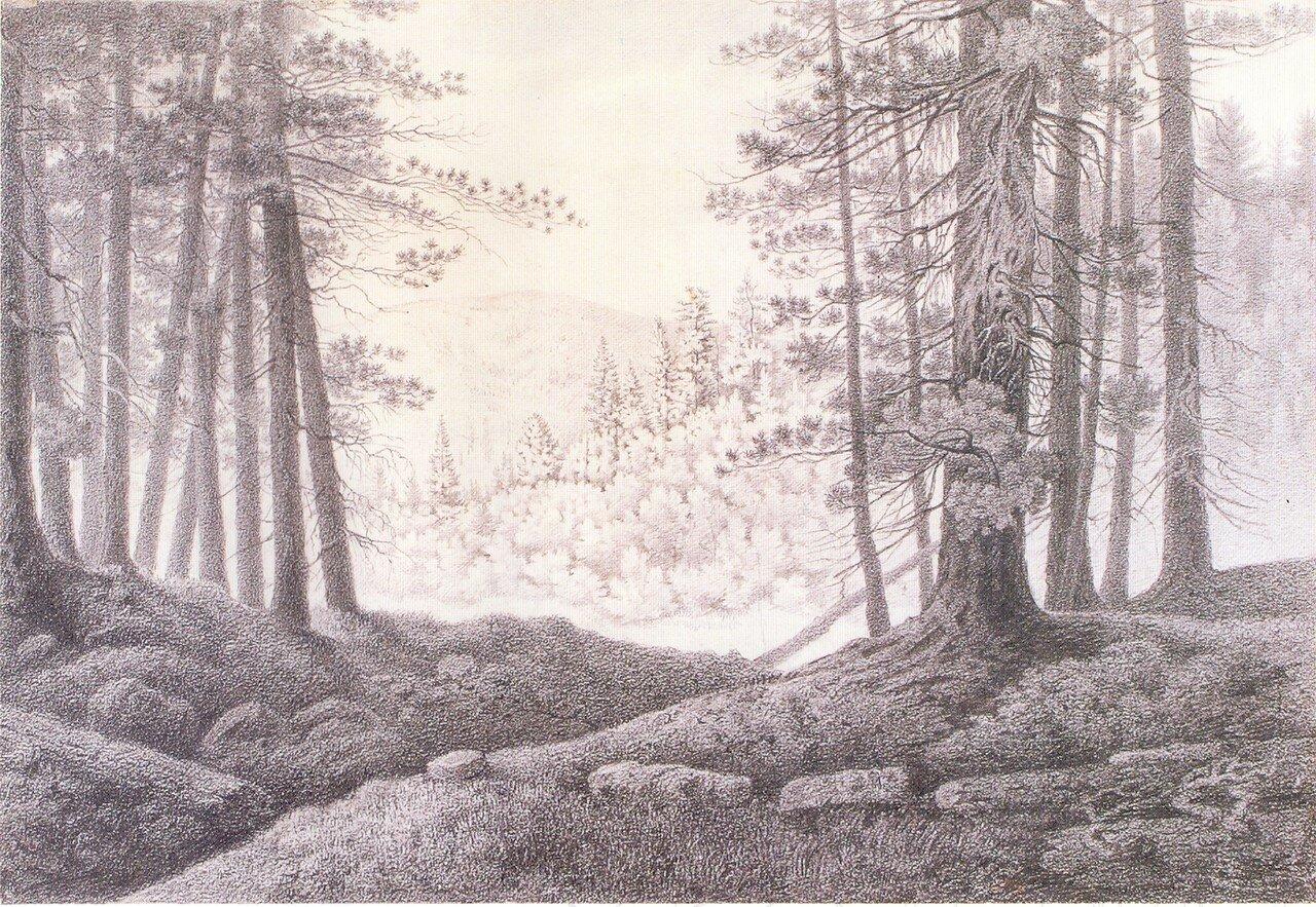 72. Кедровый лес.jpg