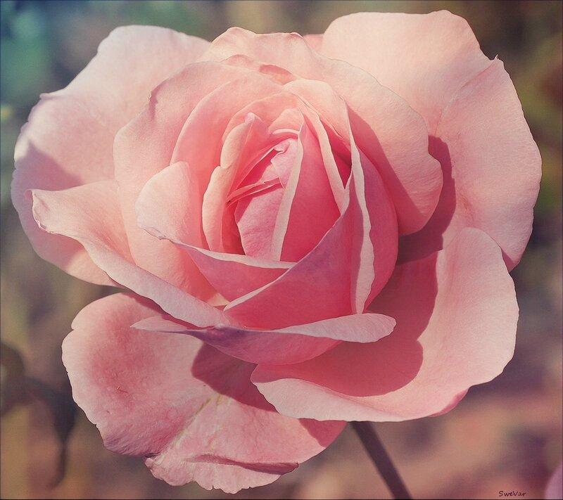 Трепетная роза
