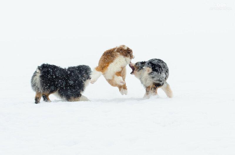 Мои собаки: Зена и Шива и их друзья весты - Страница 6 0_a76da_b2769201_XL
