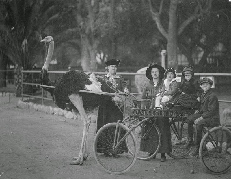 Cawston Ostrich Farm, 1910.jpg