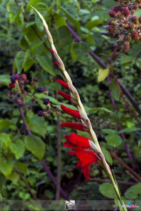 Я люблю все цветы, выпуск 135 | «Гладиолус - маленький меч».