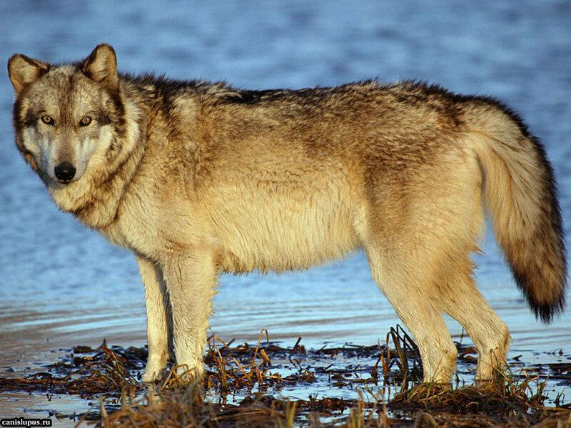 прикус клещеобразный фотографии степного волка разорванным