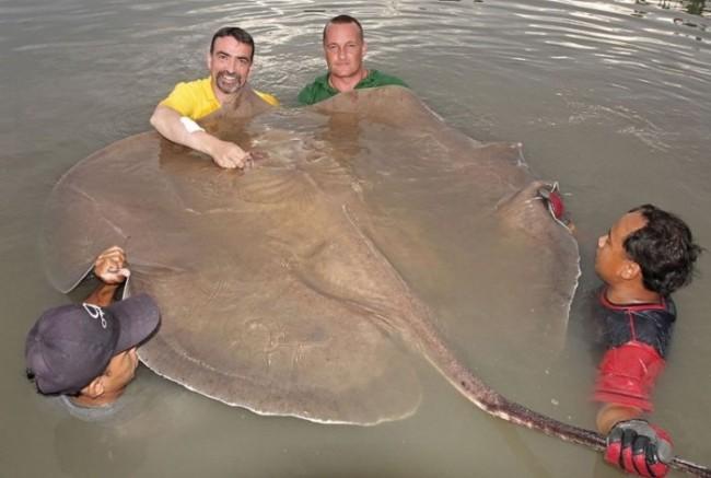 Третье место нашего списка десяти самых больших пресноводных рыб в мире занимает скат. Скат — это кр