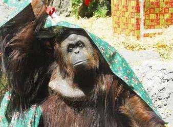 человек орангутанг.jpg