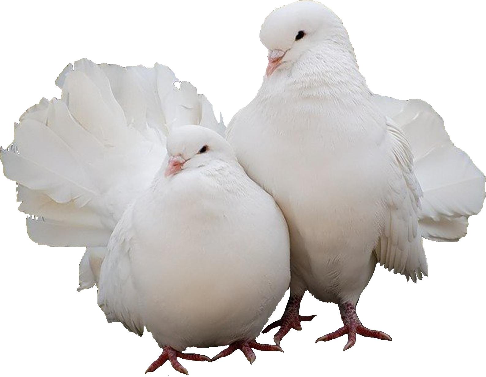 Голубь фото птицы без фона