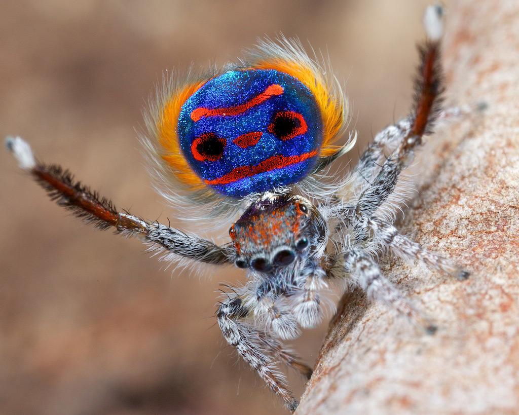 7 Цель подобных ритуалов – продемонстрировать всю свою красочность. Помимо этого, пауки поднимают ла