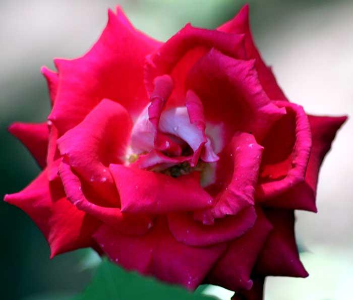 Р = Роза