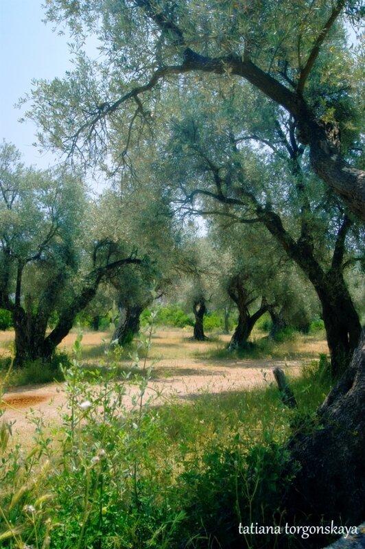 Оливы на Луштице