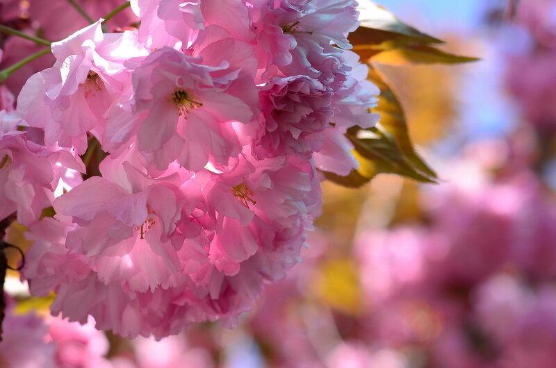 Розовая нежность сакуры..