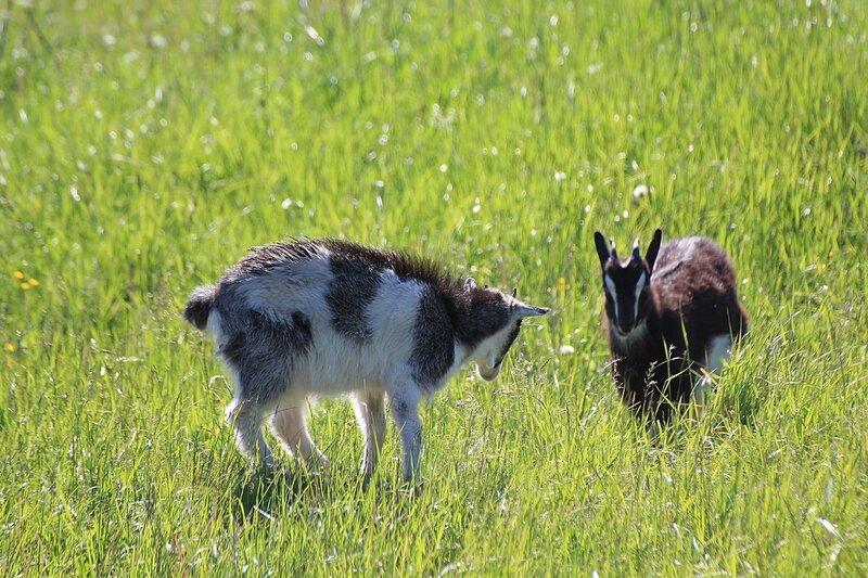 Два козлёнка резвятся на солнечном лугу