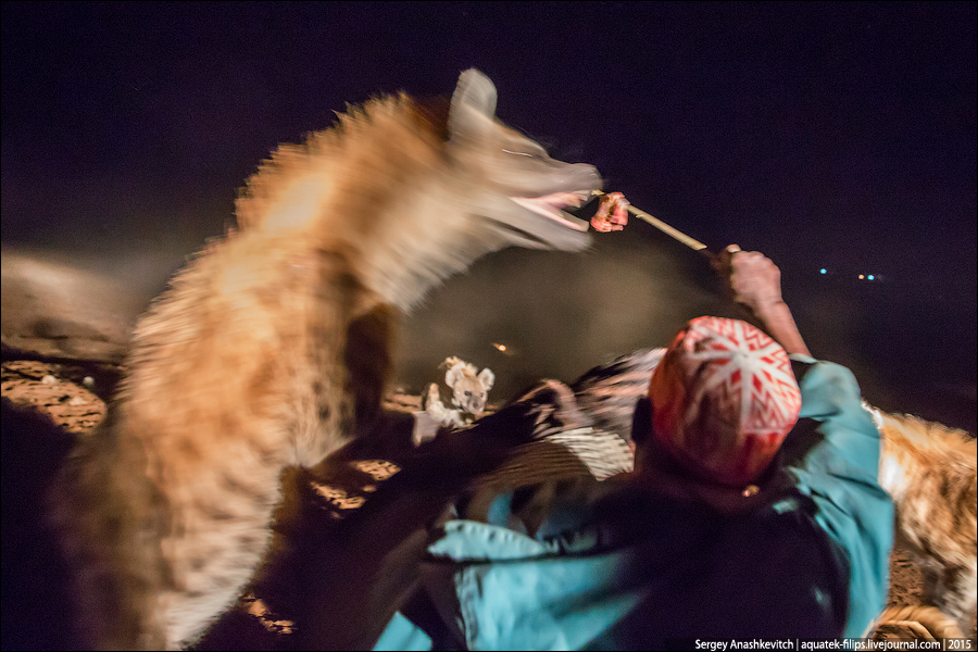 Feeding hyenas in Harar