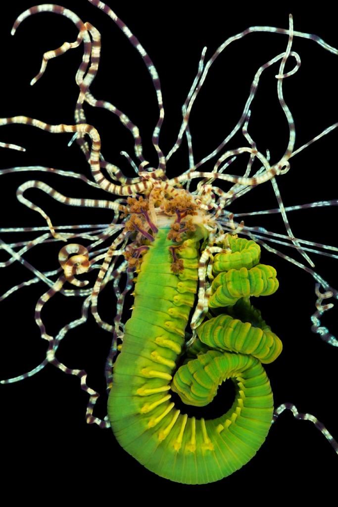 8. Гребневик Beroe cucumis. Встречается от умеренных до арктических вод Атлантического и Тихого океа