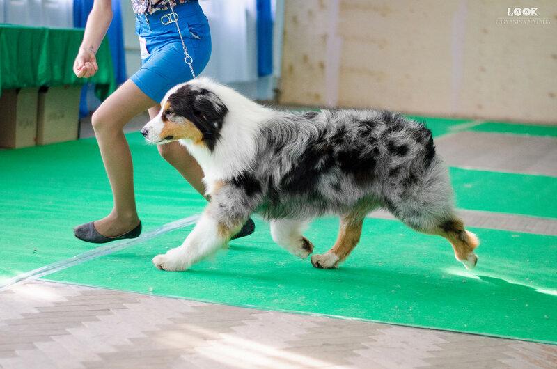 Выставочные успехи наших собак - 5 - Страница 27 0_a9282_1e648556_XL