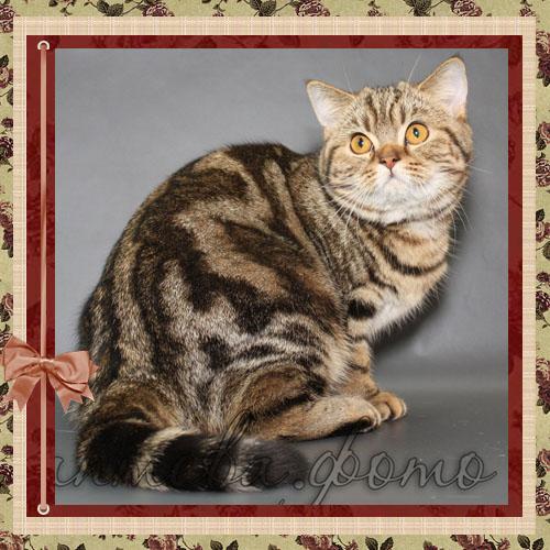 BravoBRI Dolce Fiorellino (BRI bs 22) британская короткошерстная кошка окраса черный мраморный