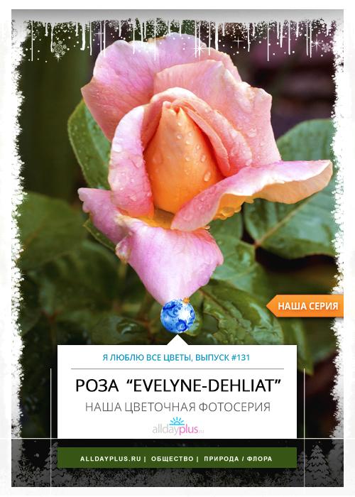 Я люблю все цветы, выпуск 131 | Роза «Evelyne - Dehliat».
