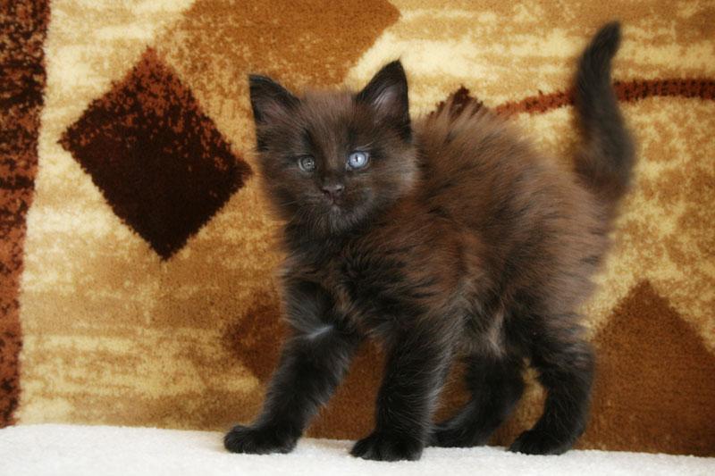 купить котенка мейн-куна в России