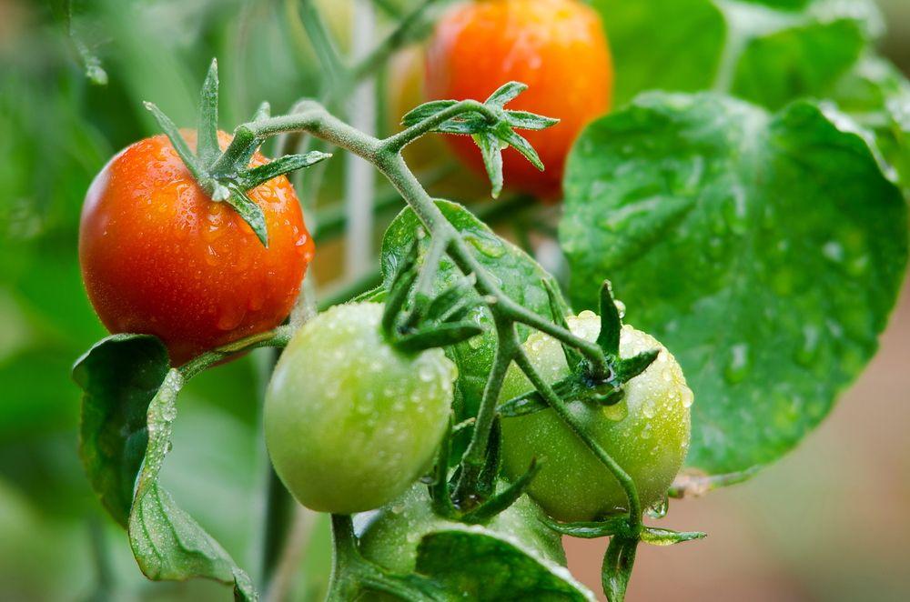 Опасный соланин также содержат незрелые зеленые помидоры. Уровень токсина снижается, когда плоды нач