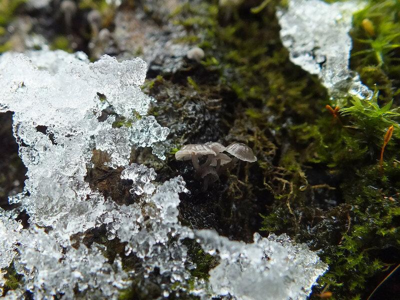 2.01.2015 Mycena pseudocorticola