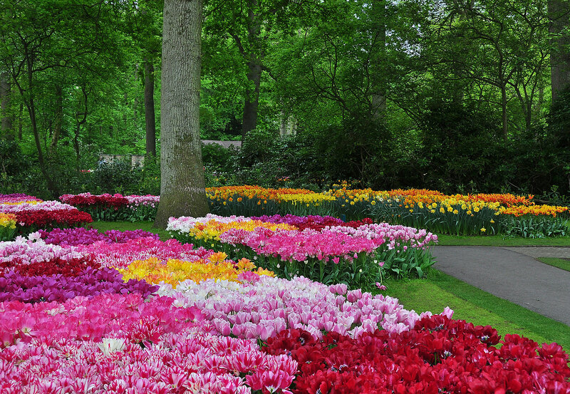 Тюльпановые россыпи