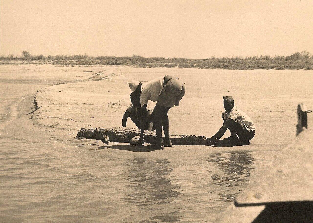 22. Крокодила вытаскивают на берег