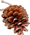sd_woodland-winter-pine-cone.png