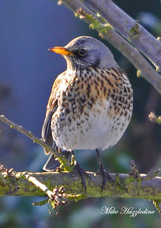 северная лесная птица:
