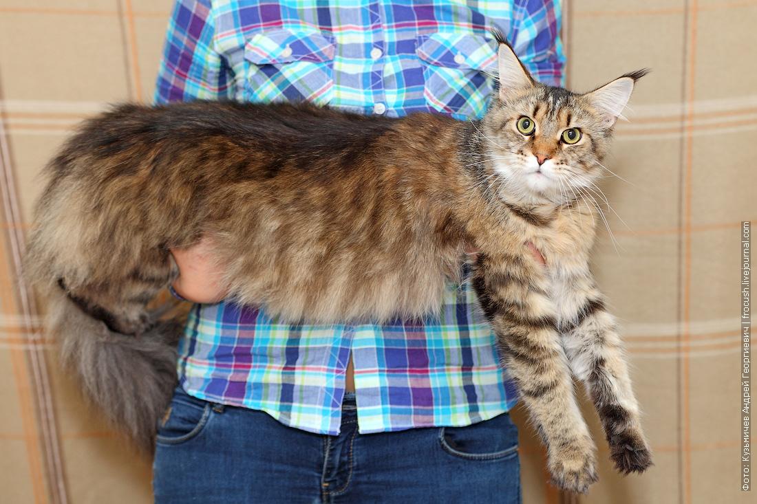 Мейн-кун Золотяшка собирается на выставку кошек Гран-при ROYAL CANIN