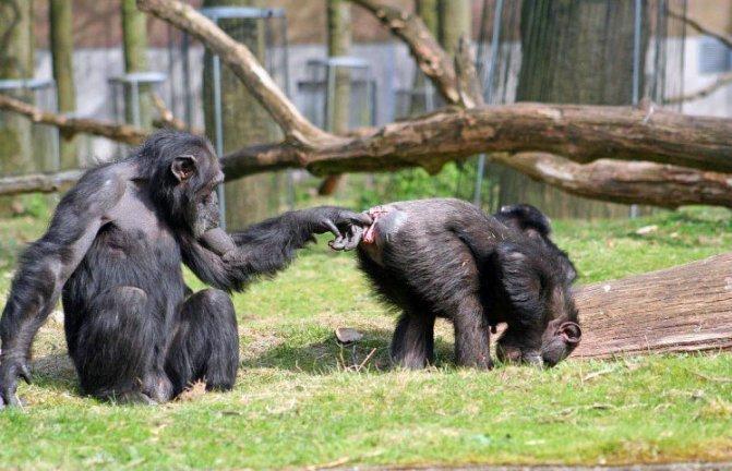 обезьяна ковыряется в анальном отверстии