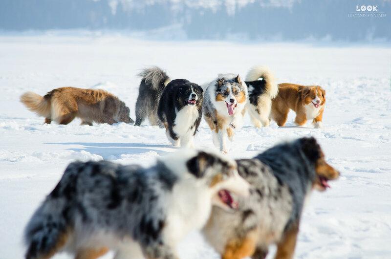 Мои собаки: Зена и Шива и их друзья весты - Страница 8 0_a8393_189f24f5_XL