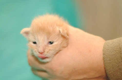 Котик мейн-кун Тзаур, Котята мейн-кун