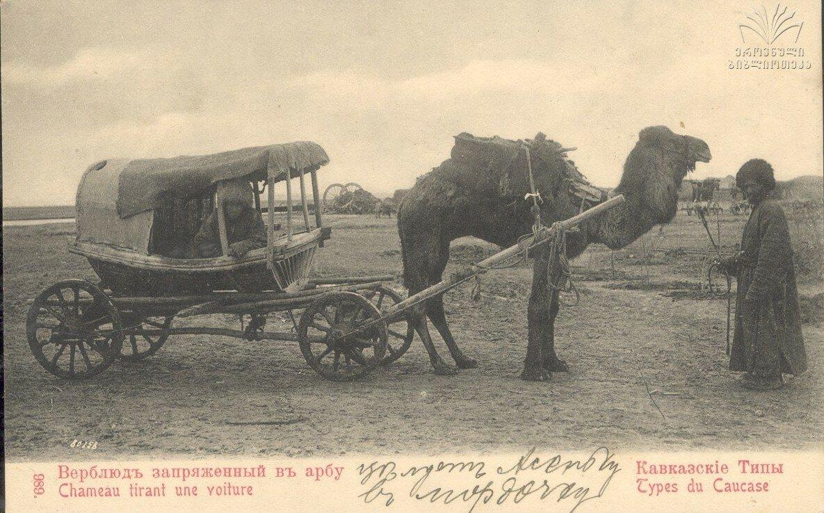 Верблюд запряженный в арбу