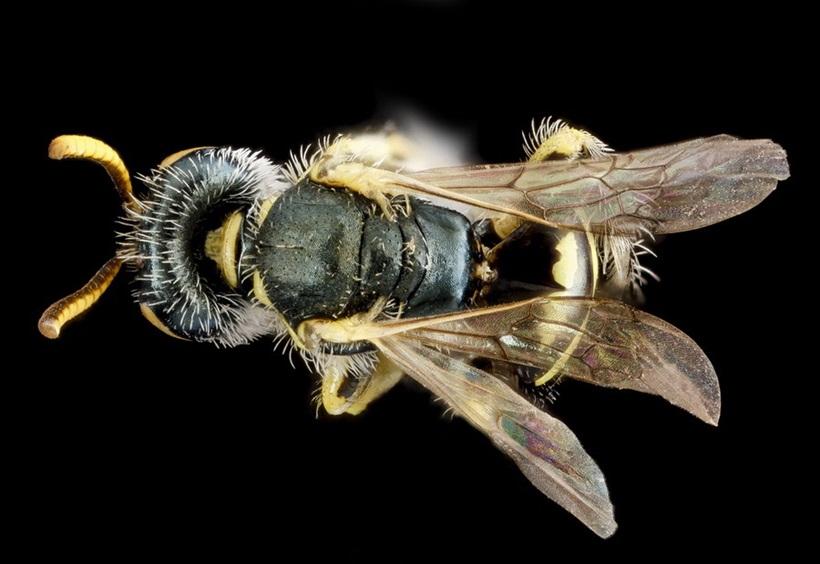 Макрофотографии разноцветных американских пчел 0 13d2a0 d3abb110 orig
